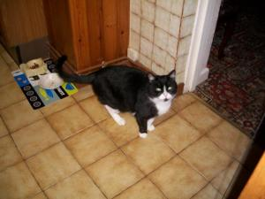 Lost pets  New York - black & white male cat was lost