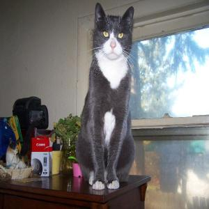 Found pets  Portland - Big grey and white male shorthair