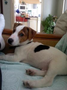 Lost pets  New York - Jack Russel was lost in New York
