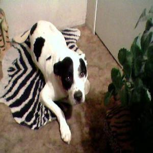 Lost pets  Los Angeles - Female Pitbull Mix ran away from Foster Home