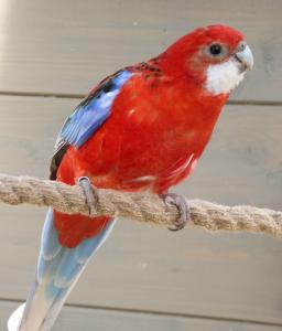 Lost pets  Los Angeles - Lost multicolored parakeet - Anahein Los Angeles